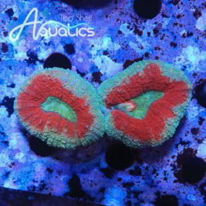 Teal and Red Lobo - WYSIWYG LPS Frag