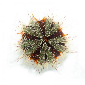 Halloween Urchin