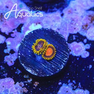 Mandarin Orange Zoanthids - WYSIWYG Softies Frag