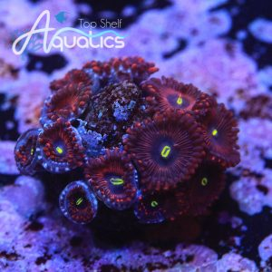 Red People Eater Zoanthids - WYSIWYG Softies Frag