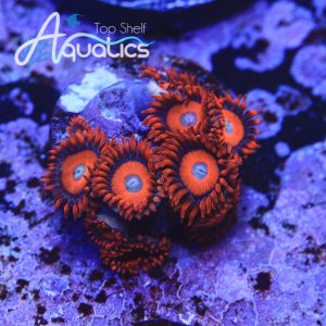 Orange Oxides Zoanthids - WYSIWYG Softie Frag