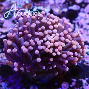 Pink Tip Green Center Torch - WYSIWYG LPS