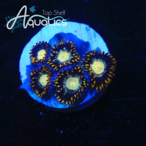 TSA Starry Night Zoas - WYSIWYG Softies Frag