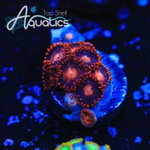 Fire and Ice Zoa - WYSIWYG Softie Frag