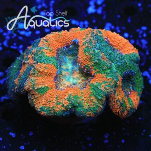 Ultra Orange Splatter Lobo(INDO) - WYSIWYG LPS Frag