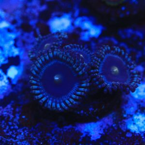 TSA Cookie Monster Zoas - WYSIWYG Softies Frag