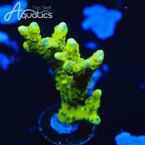 CB The Thing Anacropora - WYSIWYG SPS Frag