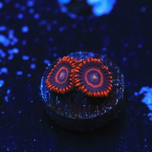 Safecrackers Zoas - WYSIWYG Softies Frag
