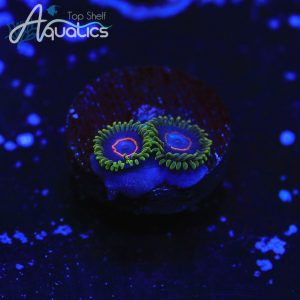 Purple Heart Zoanthdis - WYSIWYG Softies Frag