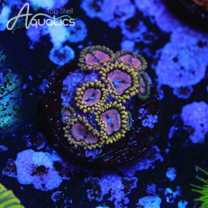 WWC Purple Monsters - WYSIWYG Softies Frag