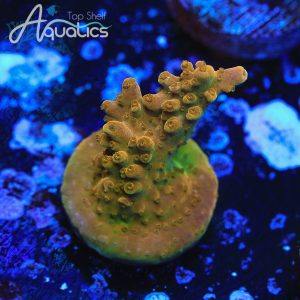 Orange Creamsicle Acro - WYSIWYG SPS Frag