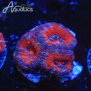 Strawberry Fields Acans - WYSIWYG LPS Frag